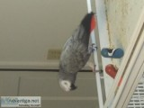 Congo African grey female