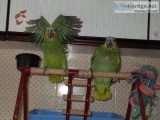 Amazon parrots baby boys hand reared