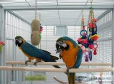 Pair of blue & gold macaw parrots avalab