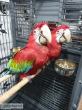 Dynamic Beatifull Green Wing Macaw parrots