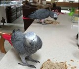 African Grey Parrot Tame N Talking Plus Cage