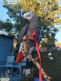 Female African Grey