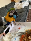 Healthy and Active Blue and Gold Macaw
