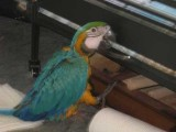 Mature Blue and Gold Macaw