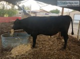 Angus Bull For Sale
