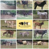 Donkeys great coyote deterrent pets horse companions