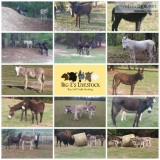Donkeys great coyote deterrent pets horse companion