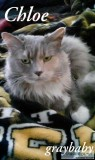 Gray Maine Coon Missing