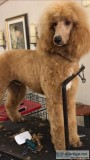 FOR STUD SERVICE AKCCKC Registered Standard Poodle