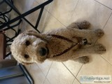 LOST GOLDENDOODLE