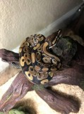 Ball python with set up